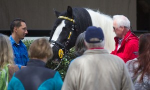 Meet the Gypsy Vanner Horses of Gypsy Gold Farm